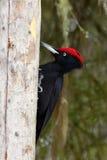 The black woodpecker ,Dryocopus martius, sitting on the dry trun. The black woodpecker (Dryocopus martius) sitting on the dry trunk Royalty Free Stock Photo
