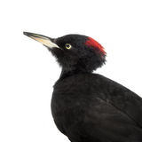 Black Woodpecker, Dryocopus martius, on white Stock Images