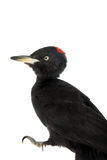 Black Woodpecker, Dryocopus martius, on white Royalty Free Stock Photo
