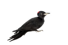 Black Woodpecker, Dryocopus martius, on white Royalty Free Stock Photos