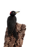 Black Woodpecker, Dryocopus martius, on white Stock Photo