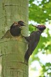 Black Woodpecker feeds its chicks. Black Woodpecker feeds its chicks in a hollow tree Royalty Free Stock Photos