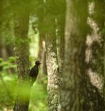 Black woodpecker in the forest. Black woodpecker Dryocopus martius in an oak forest Royalty Free Stock Image