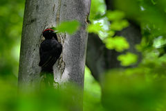 Black woodpecker in the green summer forest. Woodpecker near the nest hole. Wildlife scene with black bird in the nature habitat. Stock Photo