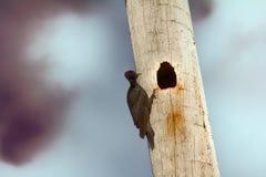 Black woodpecker hollows hollow Stock Photo