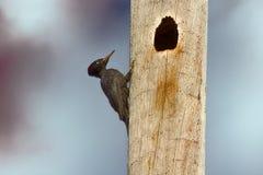 Black woodpecker hollows hollow Stock Photography