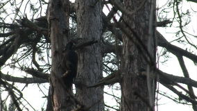 Black Woodpecker hunting insects in pine mountain forest stock footage