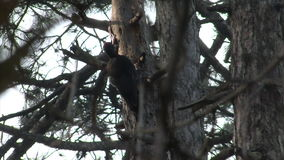 Black Woodpecker hunting insects in pine mountain forest stock video footage