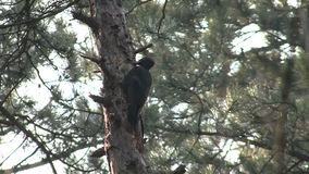 Black Woodpecker hunting insects in pine mountain forest stock video
