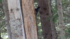 Woodpecker on a tree in the forest. Black woodpecker with red riding hood sitting on a tree trunk and peels off the bark in search of insects. Coniferous forest stock video