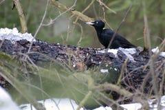 Black woodpecker is sitting on a fallen tree Stock Photos