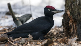 Black Woodpecker sitting on the snow Stock Images