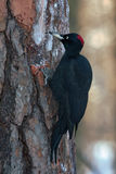 Black Woodpecker sitting on the tree Stock Photos