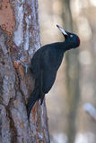 Black Woodpecker sitting on the tree Royalty Free Stock Photography