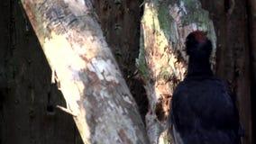 Black woodpecker in slow motion