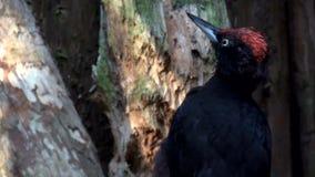 Black woodpecker in slow motion stock video footage