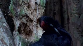 Black woodpecker in slow motion stock video