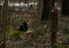 Black woodpecker on a tree Stock Photography