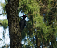 Black woodpecker on a tree Royalty Free Stock Photos