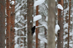 Black Woodpecker in winter Royalty Free Stock Photography