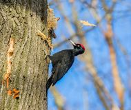 Black woodpecker at work (Dryocopus martius) Royalty Free Stock Photography