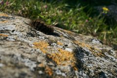 Black Woolly Bear Arctiidae caterpillar. Crawls over the stone on a sunny spring day Royalty Free Stock Photos