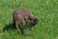 Spring Lamb in Green Pasture Royalty Free Stock Images
