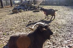 Black woolly ram in the back yard of the farm in a sunny spring day. royalty free stock image