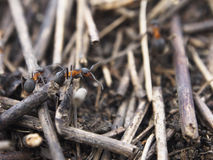 Black worker ants dragging vegetation to the colony Royalty Free Stock Photography