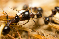 Black worker ants Royalty Free Stock Images
