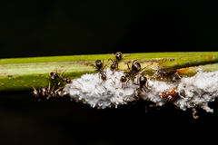 Black worker ants Royalty Free Stock Photo
