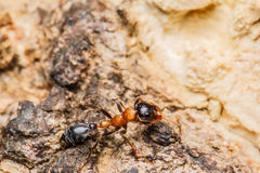 Black worker ants Stock Photography