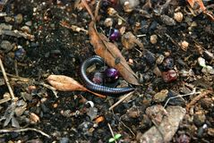 Black worm in ground Royalty Free Stock Image