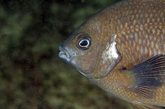 Black wrasse portrait Royalty Free Stock Image