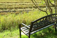 Black Wrought Iron Bench under the Tree by the Paddy Field in the Harvest Season Royalty Free Stock Photography