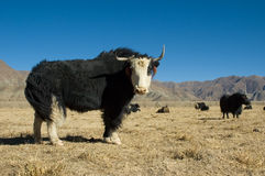 Black yak. Long-haired black yak on mountain pasture in Tibet Stock Photo