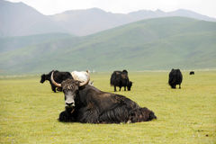 Black yak Stock Image