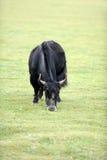 Black yak Stock Images