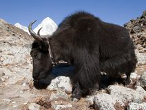Black yak ak on the way to Everest base camp - Nepal Royalty Free Stock Photos