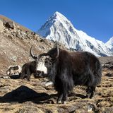 Black yak on the way to Everest base camp and mount Pumo ri - Nepal Himalayas mountains. Black yak, bos grunniens or bos mutus on the way to Everest base camp royalty free stock photography