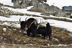 Black yak carrying goods Royalty Free Stock Photos