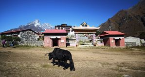 Black yak in the Himalayas Stock Image