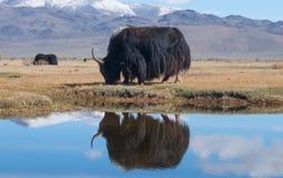Black yak Royalty Free Stock Image
