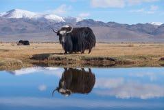 Black yak Stock Photography