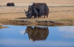 Black yak Royalty Free Stock Photos