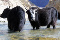 Black yak Stock Photography