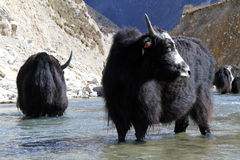 Black yak Royalty Free Stock Images