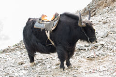 Black yak on the rocks in autumn Royalty Free Stock Image