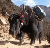 Black yak on the way to Everest base camp Stock Photos