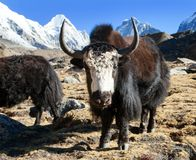 Black yak on the way to Everest and mount Pumo ri. Black yak, bos grunniens or bos mutus on the way to Everest base camp and mount Pumo ri - Nepal Himalayas royalty free stock photo